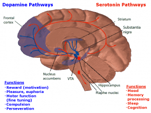 Prefrontal cortex is the blue shaded area on the left of the diagram of the brain