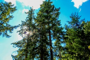 Douglas Fir with blue sky1-1